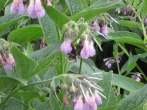 Bees enjoying comfrey, a wildflower found abundantly at the Waterworks site