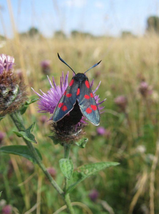5 Spot Burnet moth, Walthamstow South Marsh 22 July 2013