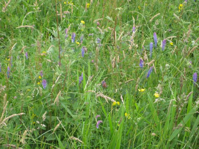Unmown area of Walthamstow Marshes - bursting with life!