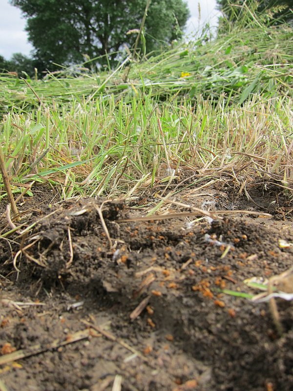 Yellow Meadow Ant nest destroyed by LVRPA june mowing, Walthamstow Marsh SSSI