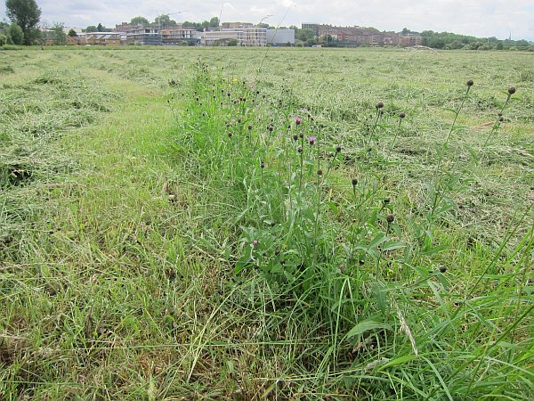 One tiny area of meadow escaped the mowers this June -  but it was cut down a couple of days later