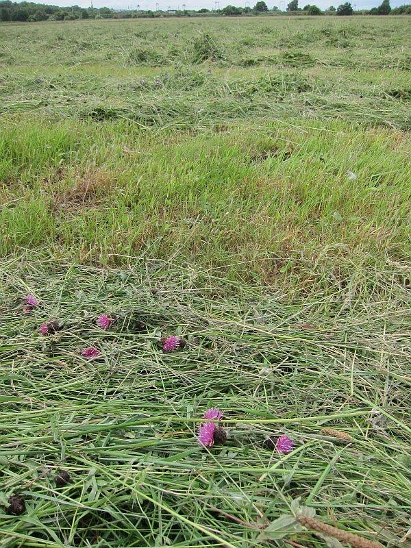 Walthamstow Marsh shortly after June mowing - Knapweed had just begun flowering